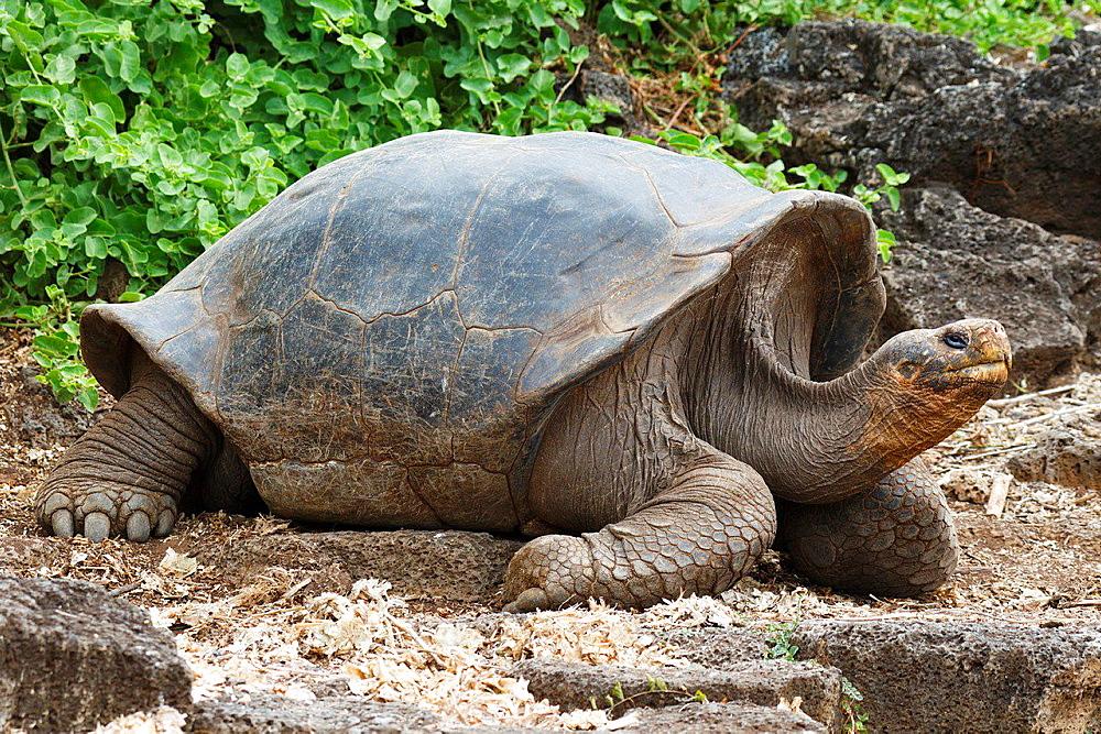 Galapagos giant tortoise (Chelonoidis nigra), Charles Darwin Research Station, Galapagos Islands National Park, Santa Cruz Island, Galapagos, Ecuador.