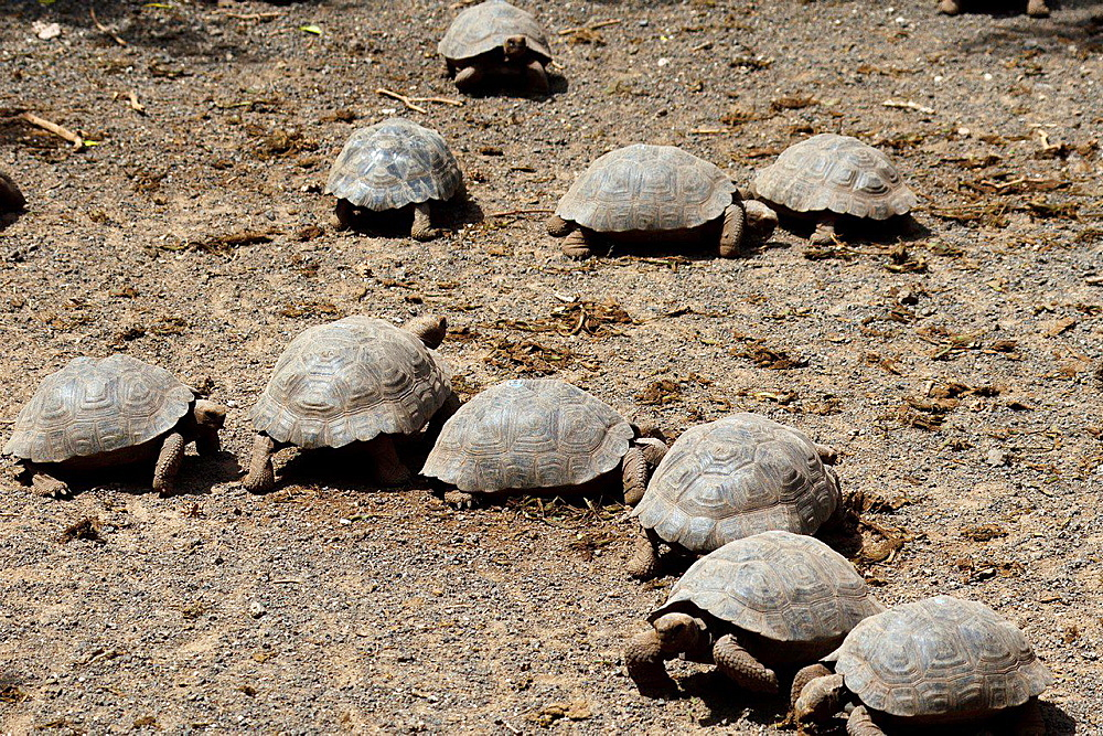 Several juvenile Galapagos Giant Tortoises (Chelonoidis nigra), at the Isabela Breeding Center 'Arnaldo Tupiza', Galapagos Islands National Park, Isabela Island, Galapagos, Ecuador.