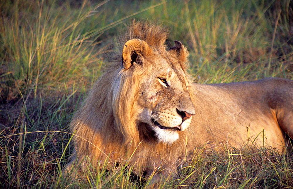 African Lion (Panthera leo) in Ngorongoro Conservation Area, Tanzania, AFRICA.