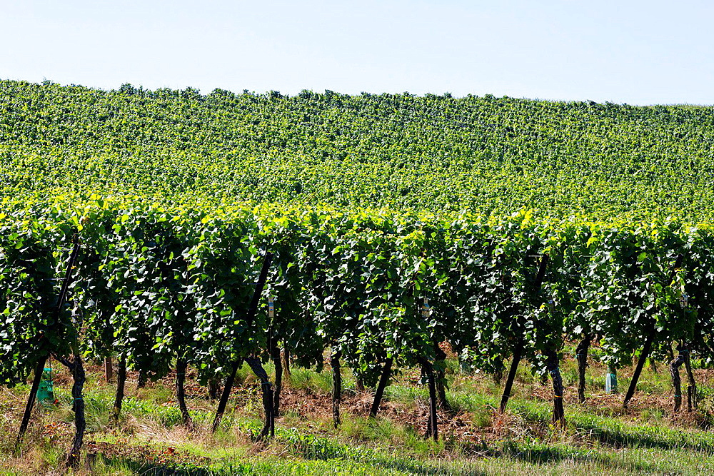 A Vineyard near Obernai in the Alsace, France.