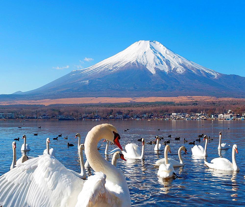 Japan, Lake Yamanaka, Swans and mount Fuji.