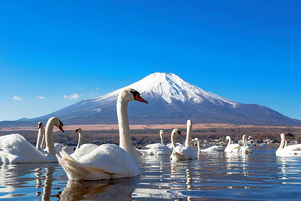 Japan, Lake Yamanaka, Swans and mount Fuji. - 817-464201