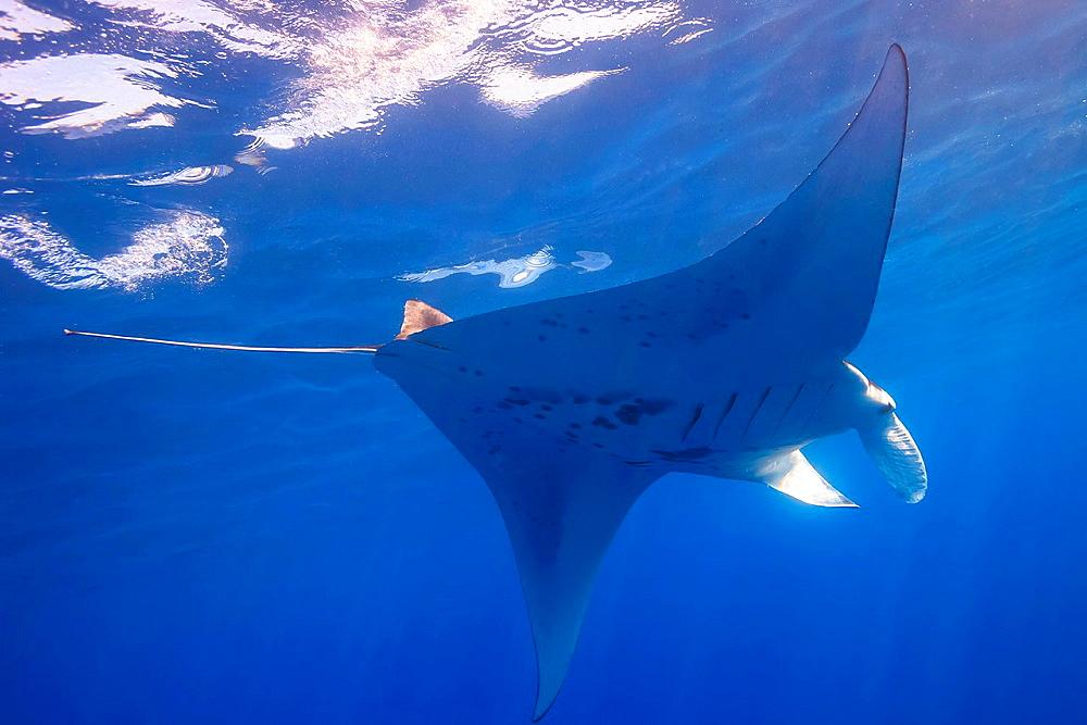 Manta Ray, Big Island, Hawaii, USA