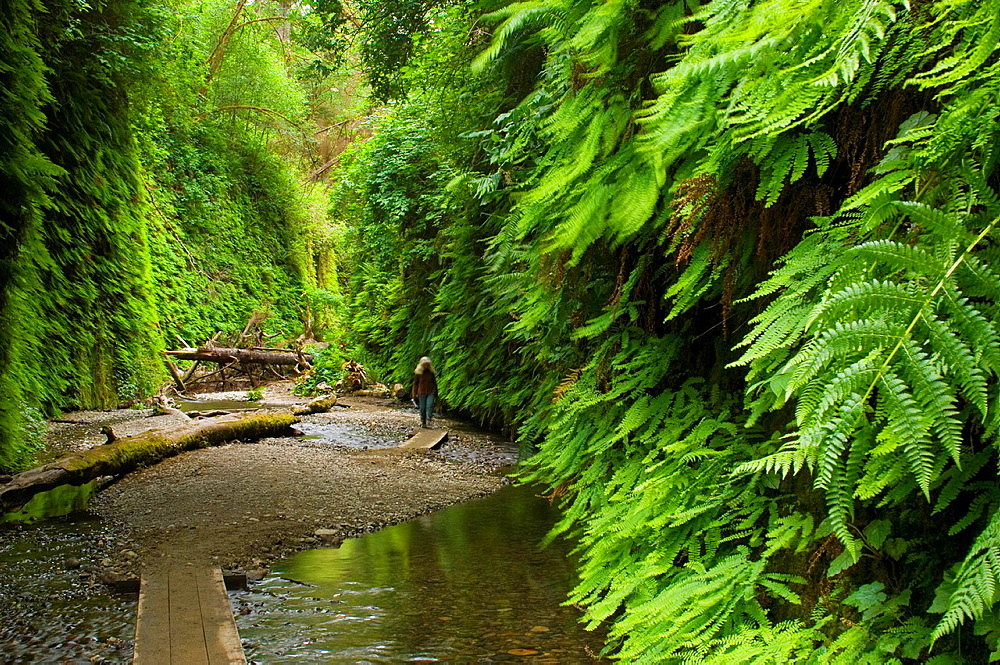 Boardwalk trail through Fern Canyon, Prairie Creek Redwoods State Park, California.