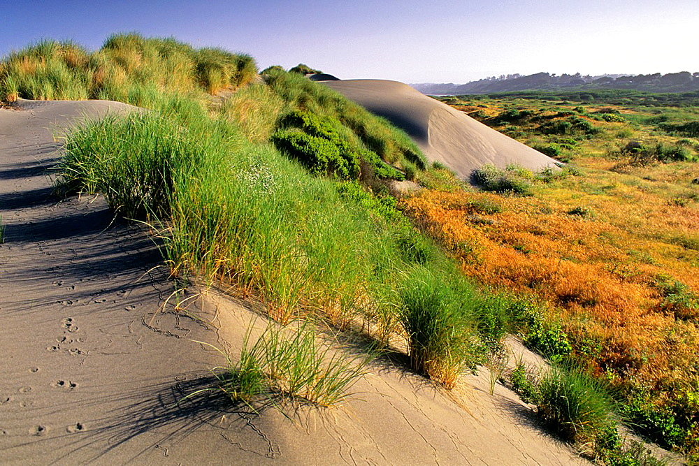 Sand Dunes and coastal grasses at Mad River Beach, Arcata, Humboldt County, CALIFORNIA.