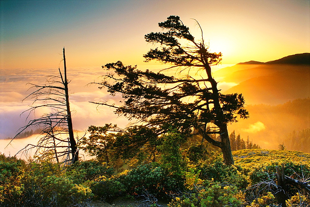 Tree and fog bank at sunset along the King Range, Lost Coast, near Shelter Cove, Humboldt County, CALIFORNIA.