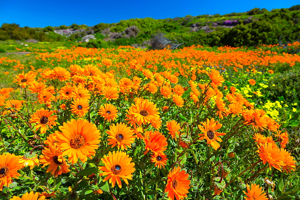 Wildflowers, Lambert's Bay, Western Cape province, South Africa, Africa.