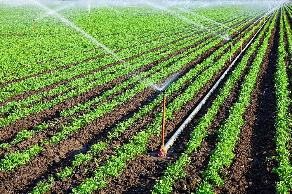 Field of cilantro plants with spray irrigation in Camarillo CA.
