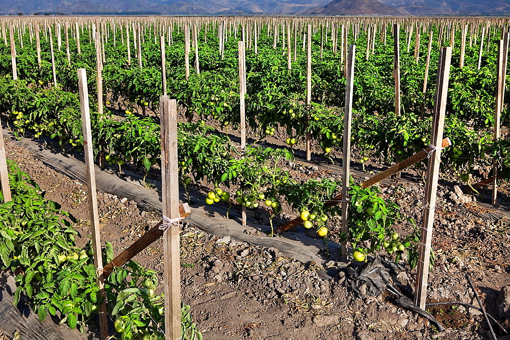 Field of tomato plants stakted in Camarillo CA.