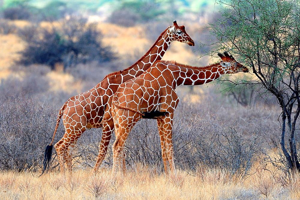 Reticulated giraffe feeding on vegetation (Giraffa camelopardalis reticulata) Samburu National Reserve, Kenya, Africa, October.