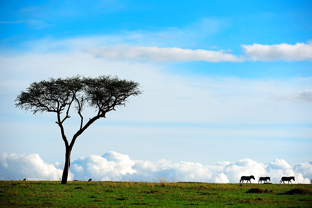 Grant's zebra and acacia tree (Equus burchelli boehmi), landscape, Masai Mara National Reserve, Kenya, Africa, October.