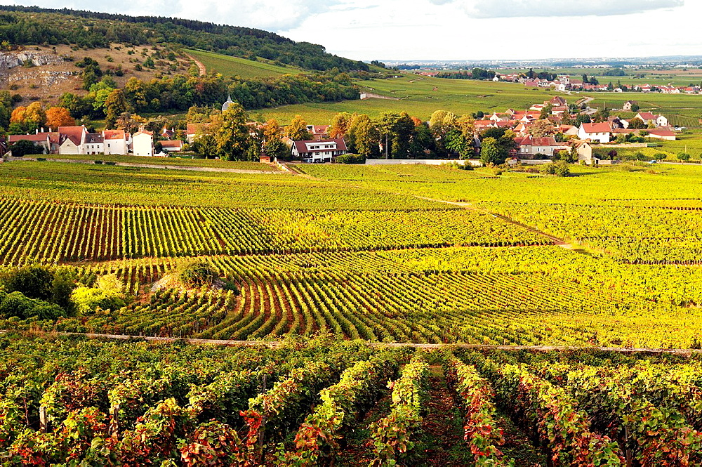 Vineyards of the Cote de Nuits, Burgundy, France