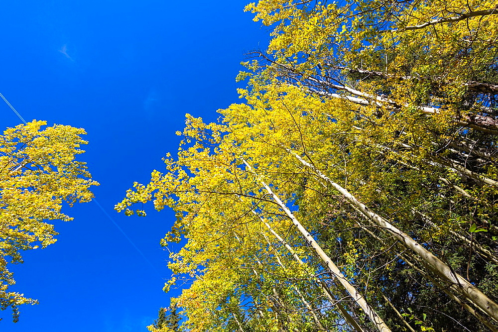 Colorful aspen trees in the Banff National Park, Alberta, Canada