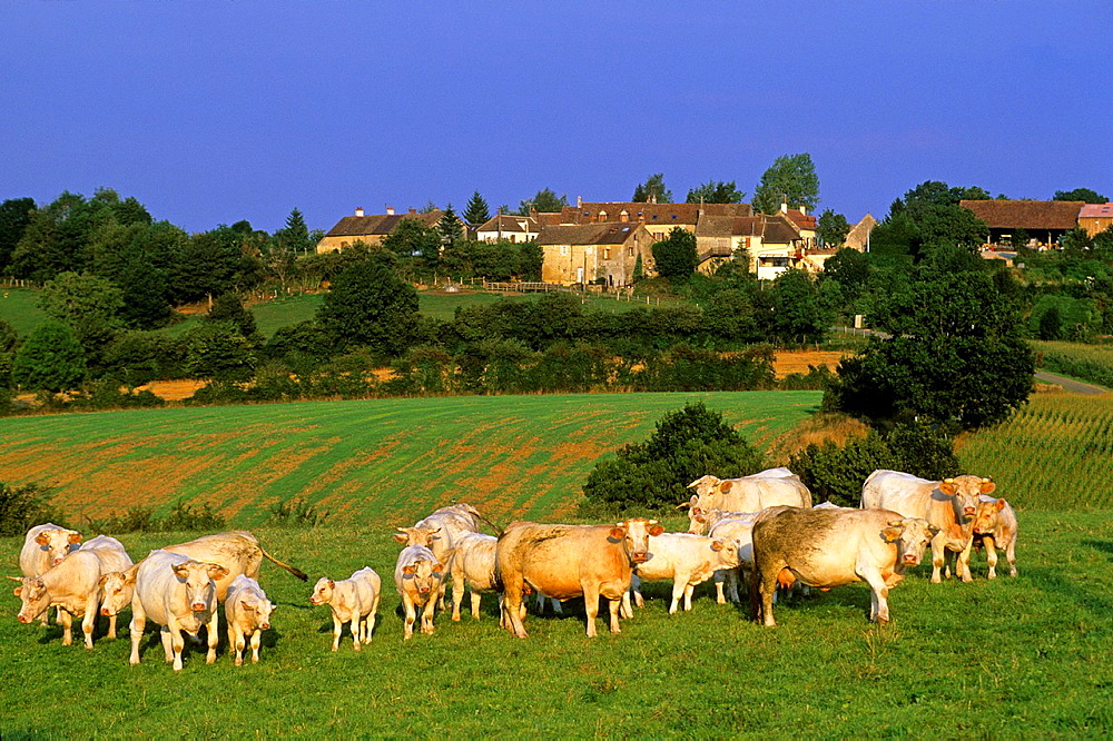 cattle in meadow, Gue-de-la-Chaine, Regional Natural Park of Perche, Orne department, Lower Normandy region, France, Western Europe.