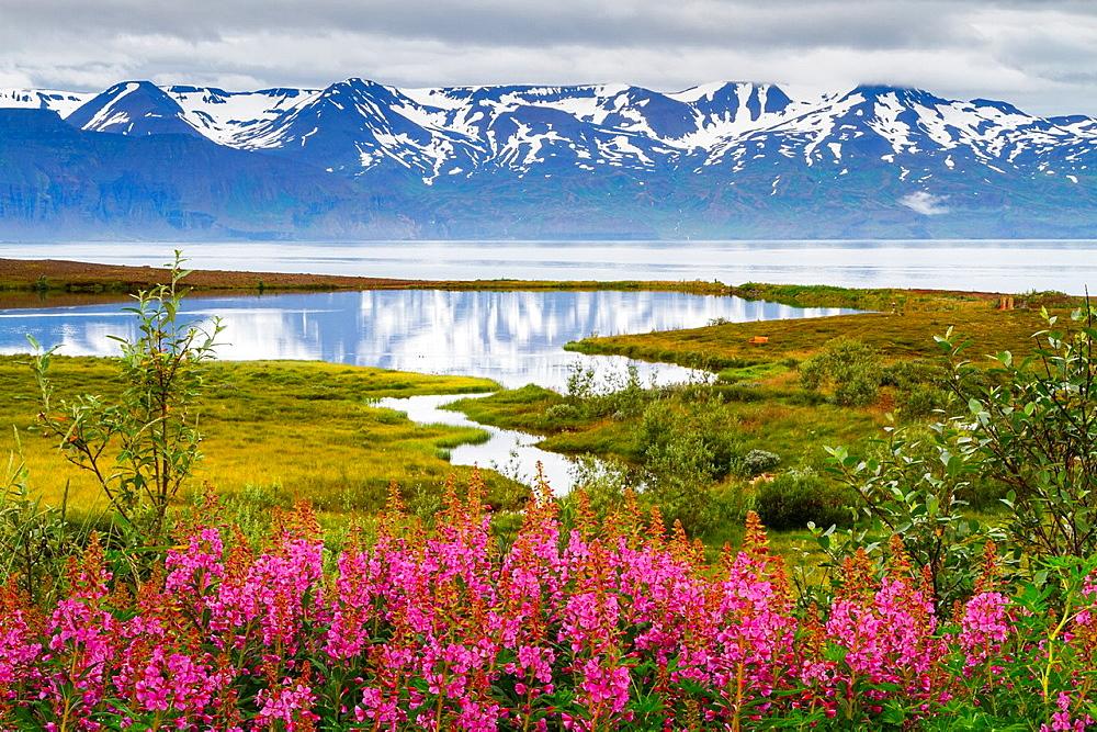 Dwarf Fireweed (Epilobium latifolium or Chamerion latifolium) in Skjalfandi bay. Husavik. Iceland, Europe. - 817-466845