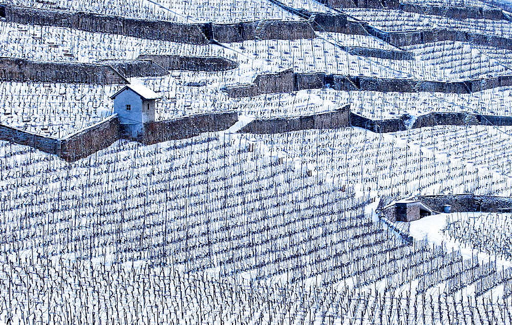 Vineyard in Lavaux, Switzerland.