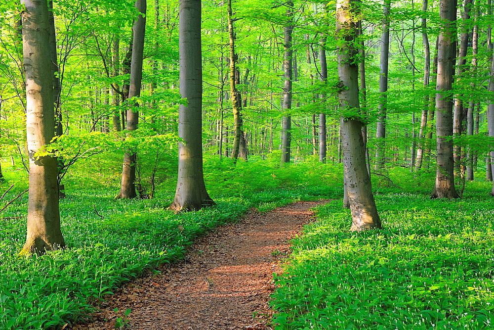 Path through Beech Forest in Spring, Bad Langensalza, Hainich National Park, Thuringia, Germany,.