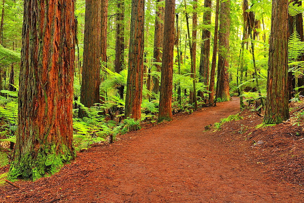 Path through Whakarewarewa Forest, Redwood, Sequoia, Tree, Rotorua, Bay of Plenty, North Island, New Zealand. - 817-468523