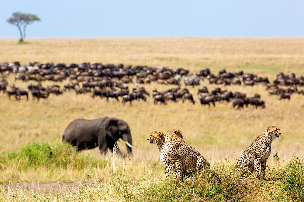Cheetahs (Acinonyx jubatus), African Elephant and a herd of Wildebeest, Masai Mara, Kenya.