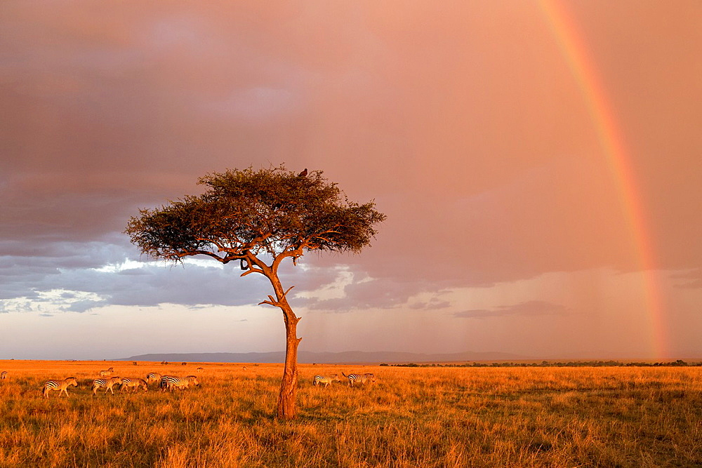 Plains Zebras (Equus quagga) in savannah with rainbow, Masai Mara, Kenya.
