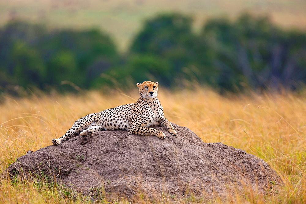 Cheetah (Acinonyx jubatus) lying on termite mound, Masai Mara, Kenya.