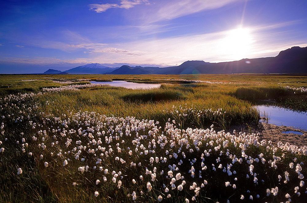 Common cottongrass (Eriophorum angustifolium). Snaefellsnes peninsula, Snaefellsjokull glacier in background, Western Iceland