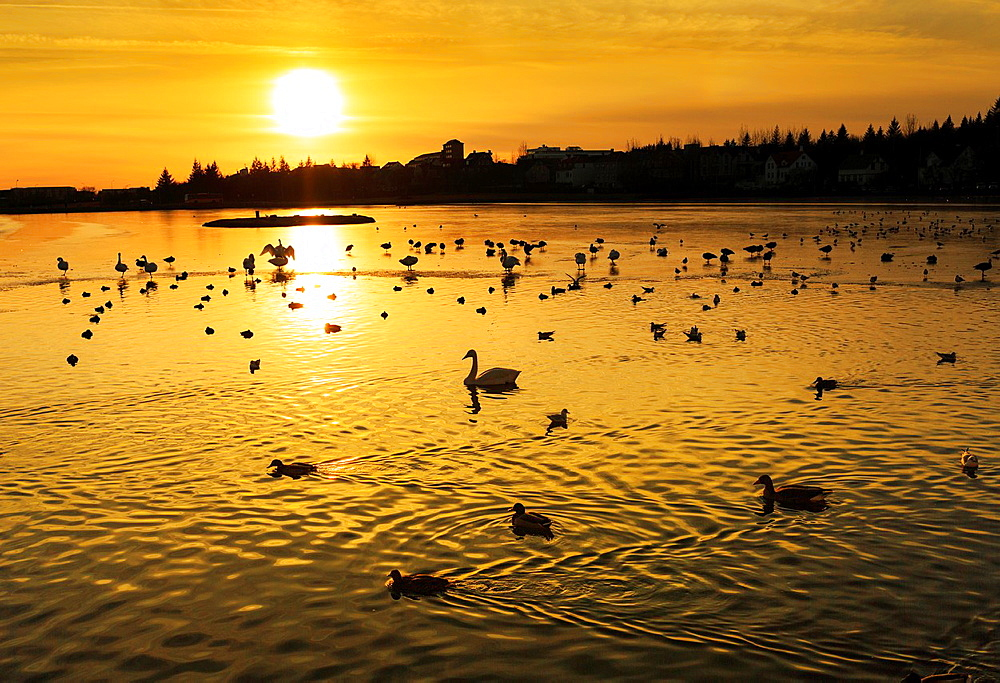 Sunset over The Reykjavik Pond (Tjornin) with ducks and swans, Reykjavik, Iceland.