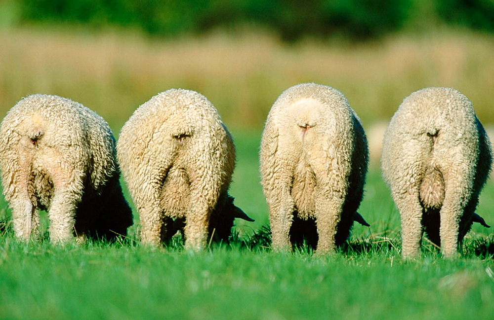 New Zealand Sheep - 817-47083