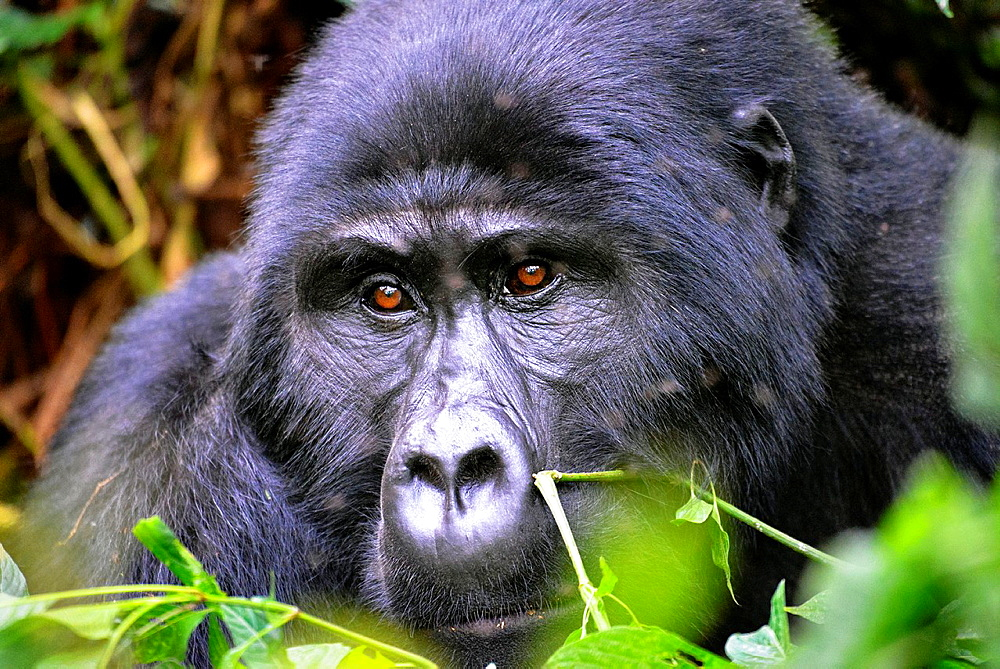 close up of silverback gorilla in Bwindi Impenetrable Forest in Uganda