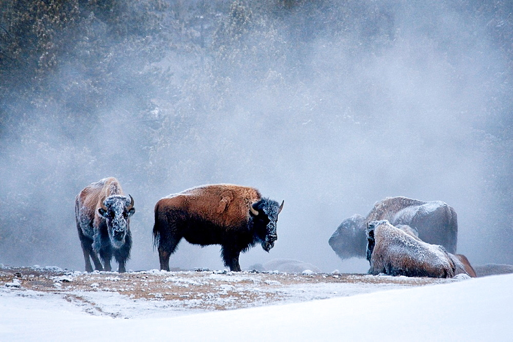 Frosty bison standing and sitting near warm steam after Old Faithful erupted at Yellowstone during a cold winter morning.