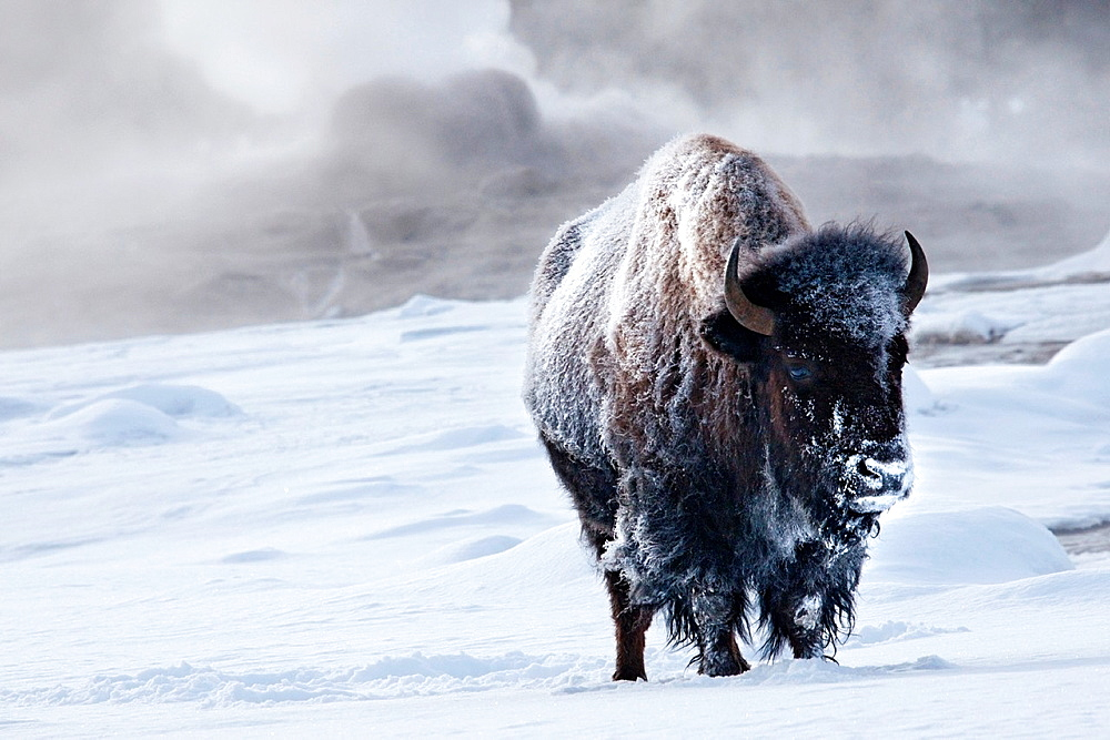An icy bison stands near steam from an erupting geyser at Old Faithful upper basin, Yellowstone.
