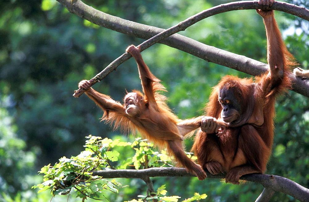 Orangutan Sumatera High Quality St...