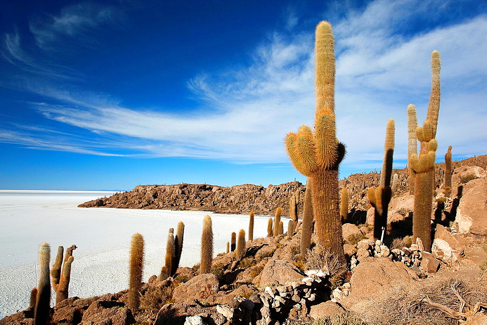 Cacti on Isla del Pescado, Salar Uyuni, Salt Desert, Southwest Highlands, Bolivia, South America.
