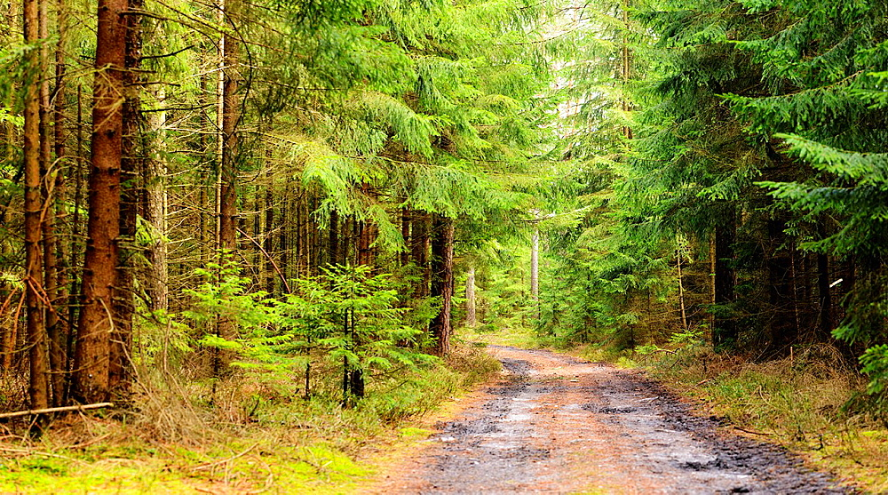 Landscape of a forest road with Norway Spruces (Picea abies) in early spring, Bavaria, Germany.