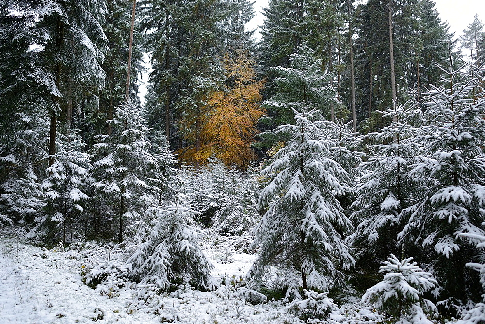 Landscape of Norway spruce (Picea abies) trees in a forest in winter, Upper Palatinate, Bavaria, Germany - 817-472079