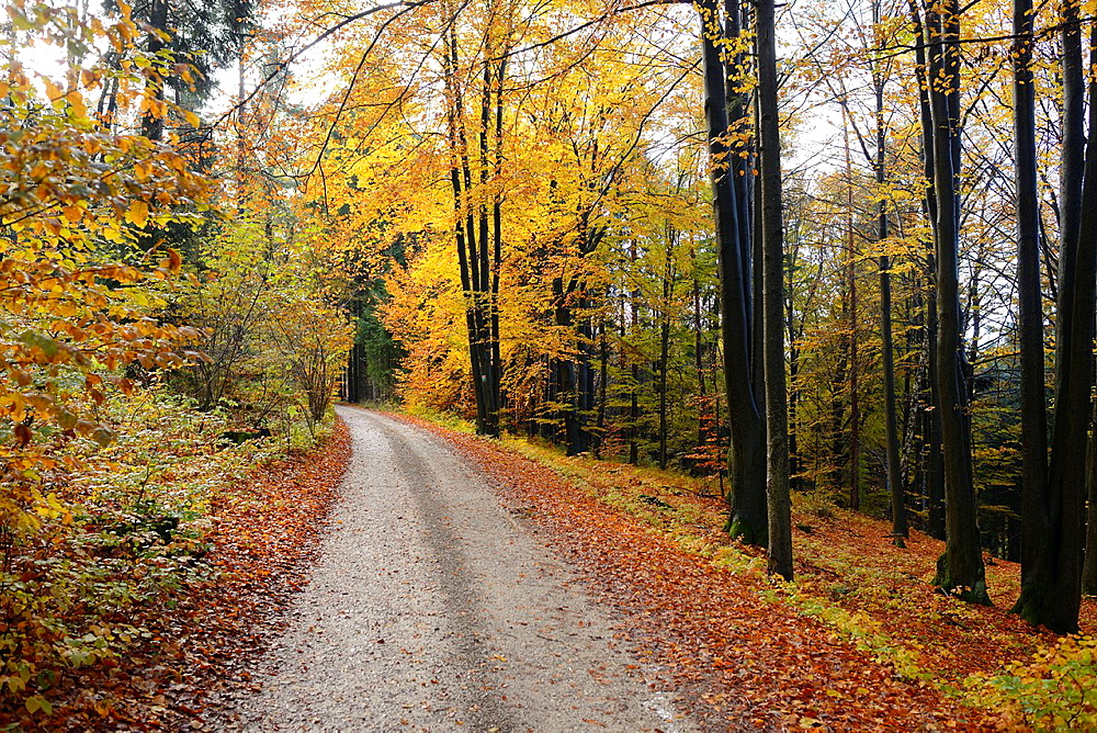 Landscape of a little trail going through the forest in autumn, Upper Palatinate, Bavaria, Germany - 817-472080