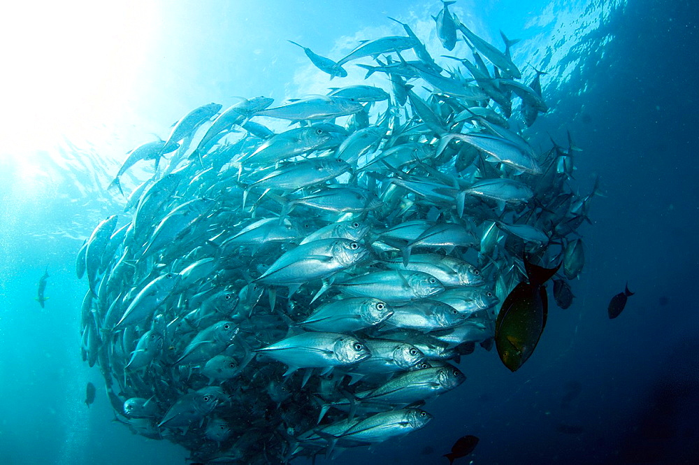 School of Bigeye Trevally (Caranx sexfasciatus) at USAT Liberty ship (US Army transport ship torpedoed by Japanese in WWII) at Tulamben in Bali in Indonesia. - 817-472117