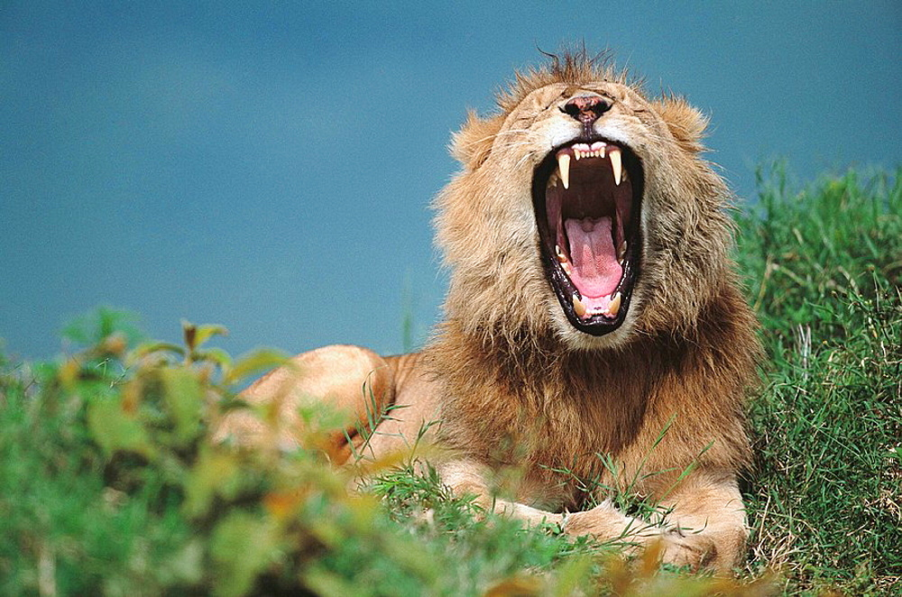 Lion (Panthera leo), Masai Mara Natural Reserve, Kenya - 817-47236