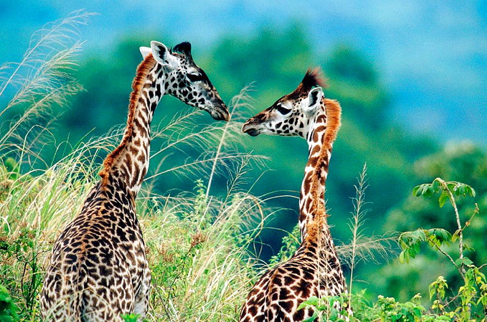 Giraffe (Giraffa camelopardalis), Serengeti National Park, Tanzania