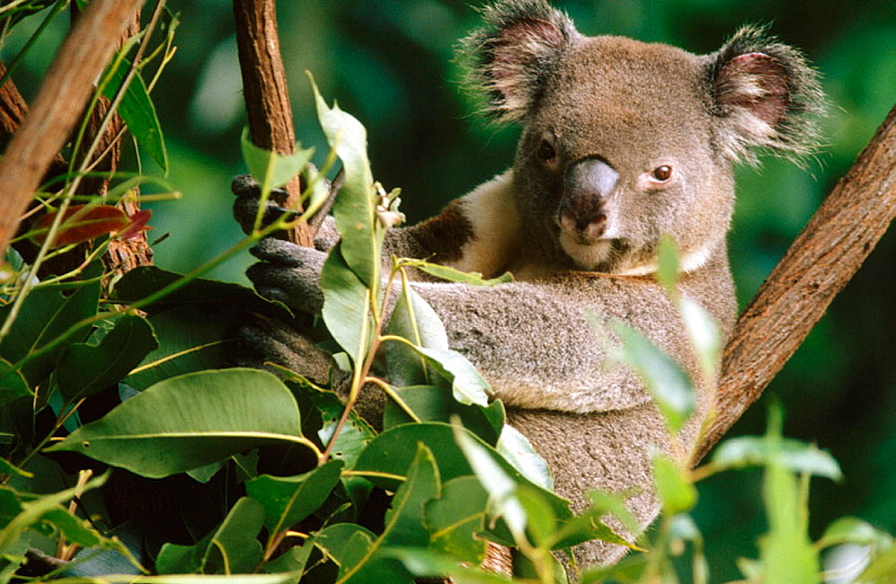 Koala (Phascolarctos cinereus), Queensland, Australia