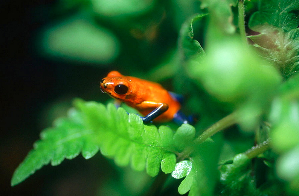 Frog, Tortuguero National Park, Costa Rica