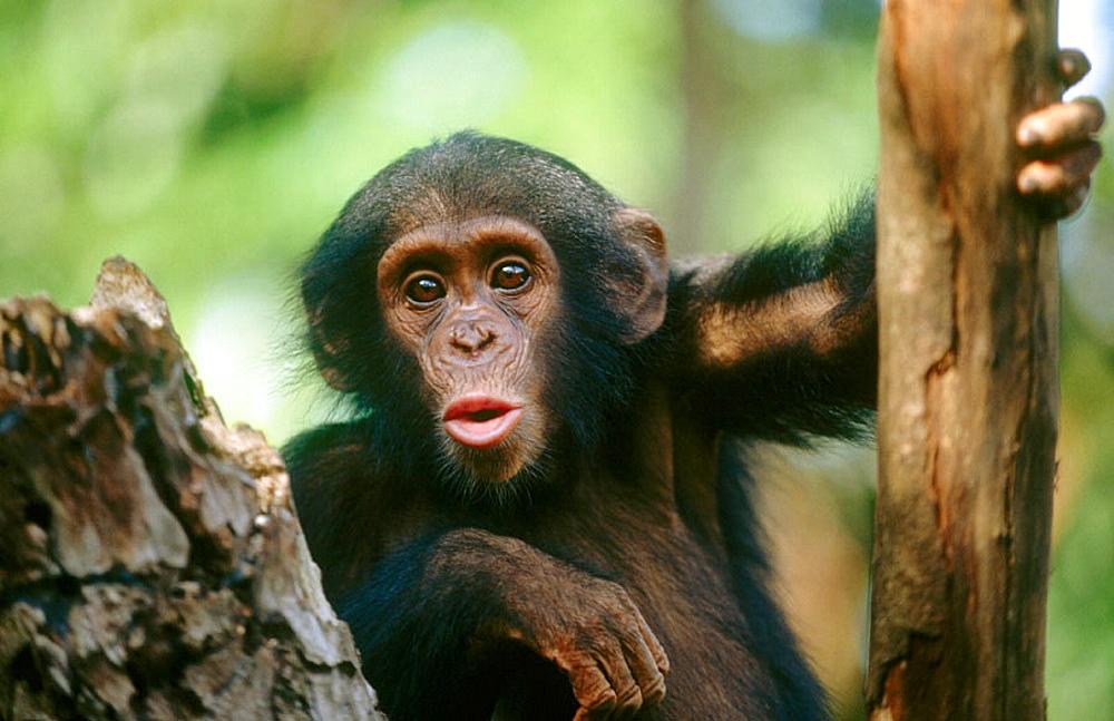 Chimpanzee (Pan troglodytes), Cameroon. - 817-47765