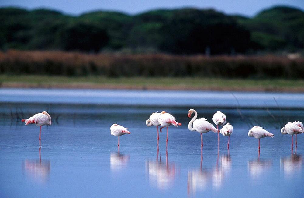 Greater Flamingos (Phoenicopterus ruber), Donana National Park, Huelva province, Spain