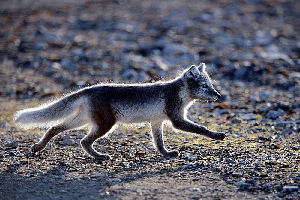Arctic Fox (Vulpes lagopus), Spitsbergen island, Svalbard archipelago, Arctic Ocean, Norway