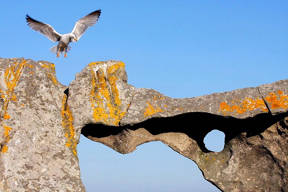 Yellow-legged Gull (Larus cachinnans), Cies islands, Atlantic Islands National Park, Galicia, Spain