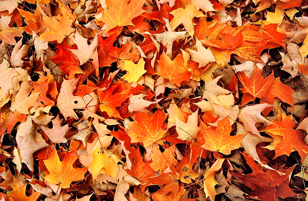 Leaves in autum, Pyrenees, Catalonia, Spain - 817-48303