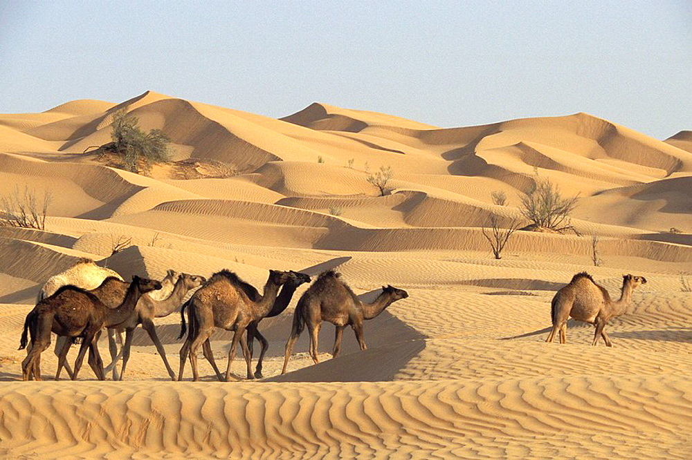 High quality stock photos of empty quarter desert desert oman arabian peninsula camels at the rub39 al khali 39empty quarter sciox Images