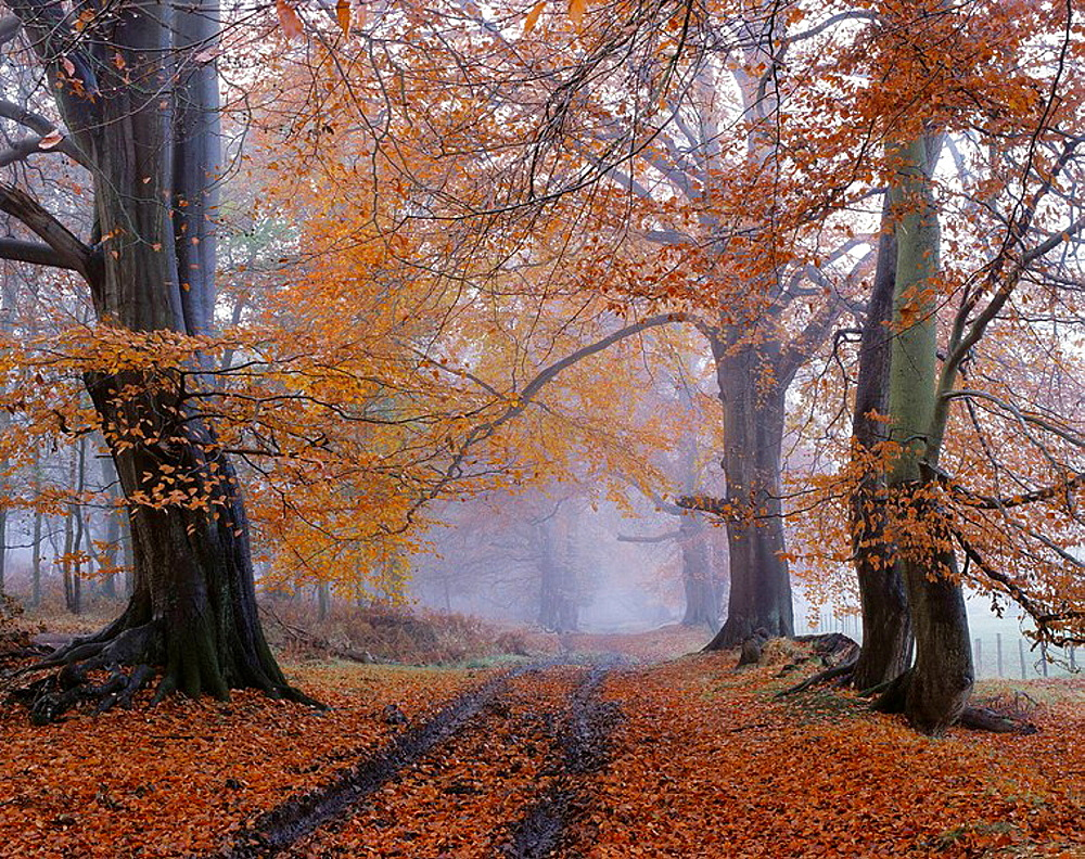 Beech (Fagus sylvatica) wood, Ashridge, Hertfordshire, England, UK