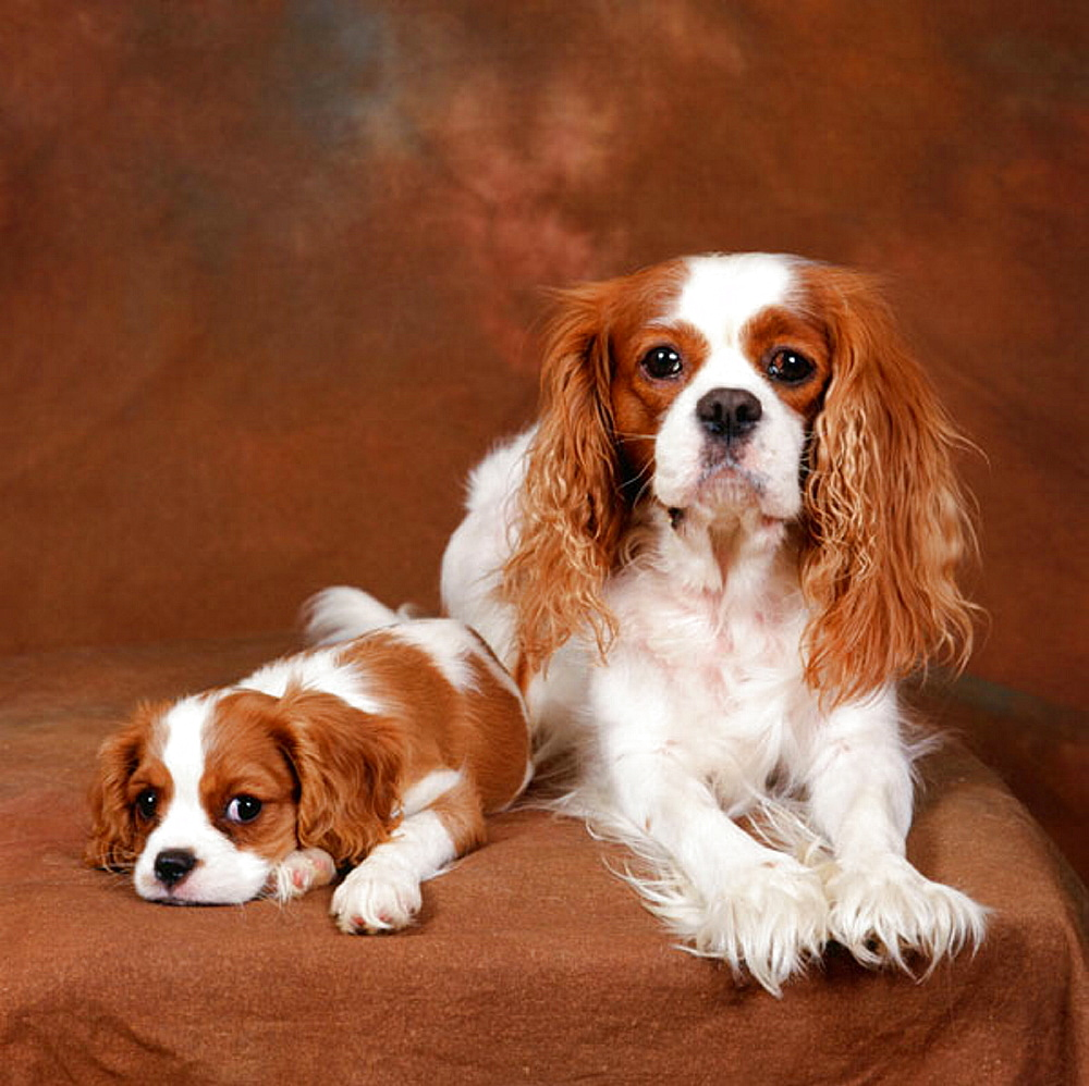 Adult female King Charles Spaniel and 10 weeks puppy (both Blenheim variety)
