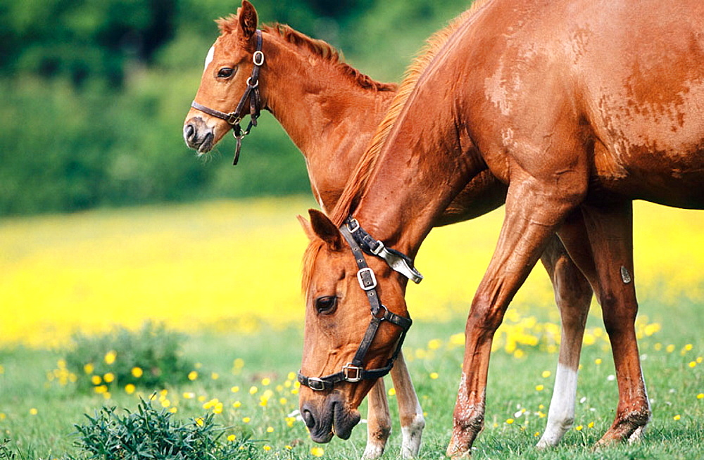 Thoroughbred chesnut mare and foal, Herts, England